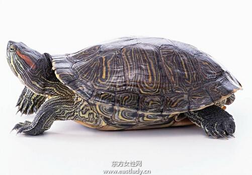 巴西龟怎么养 吃什么
