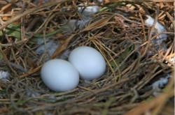 鸽子蛋有营养吗 鸽子蛋的吃法有哪些