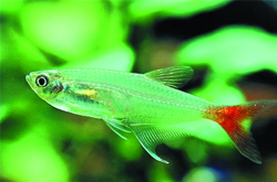 润肺养胃 水晶鱼的营养价值和功效好处介绍