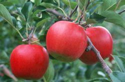 一天当中什么时候吃苹果