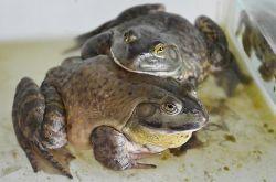 牛蛙对健康益处大 揭牛蛙三种家常做法