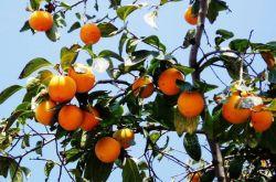 柿子叶的功效与作用 柿子叶居然还有淡斑美白的功效