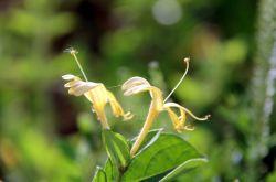 金银花的副作用是什么 金银花茶怎么泡