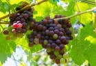 孕妇吃葡萄的好处