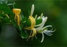 金银花的功效与作用 降血脂安神